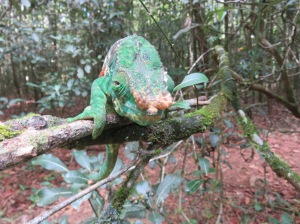 The largest chameleon in the world, at a length of 79cm. Check out that nose!