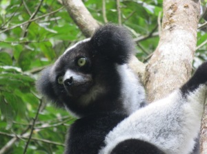 The Indri, also the largest living lemur!