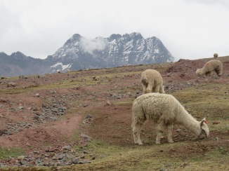 Some llamas and alpaca grazing at the base of the Ausangate mountain range