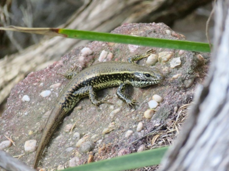 An eastern water skink spotted on the trail