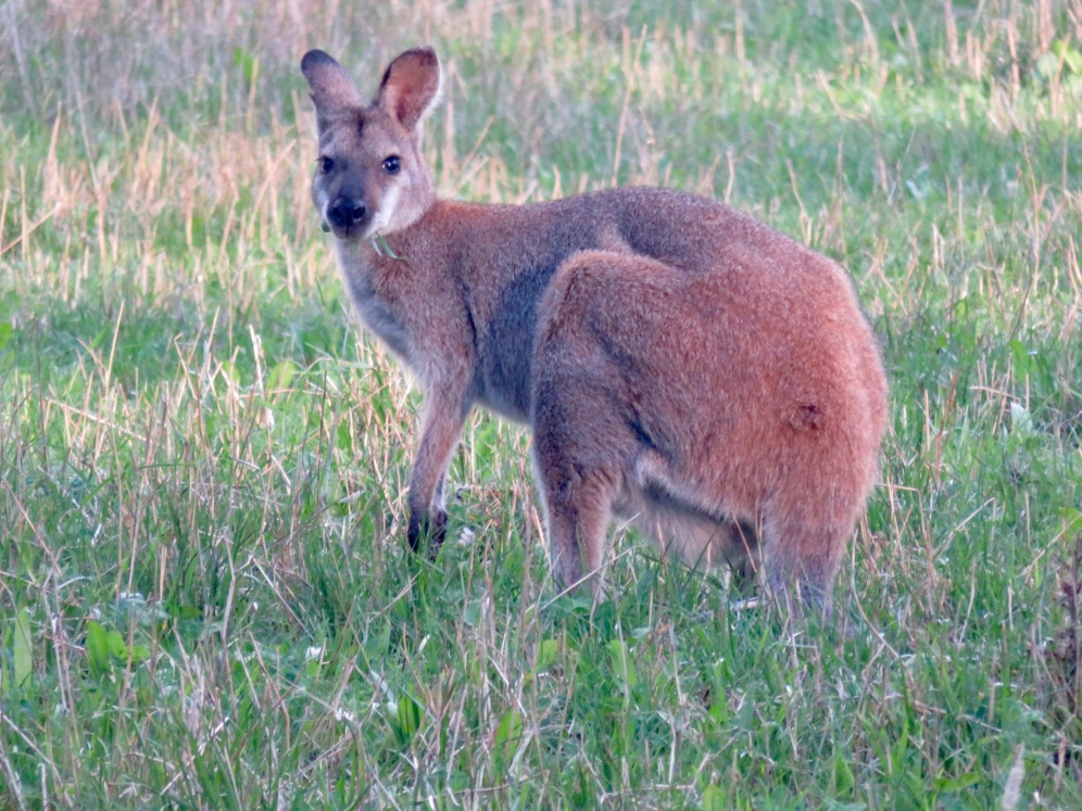 A Red-necked wallaby. I started a side project tracking how close I could get to them before fleeing as a way of measuring their responsiveness to predators (like humans!)